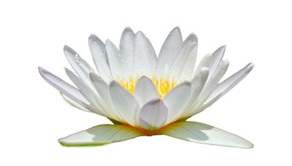 Wall Mural - White lotus in a white background Isolate