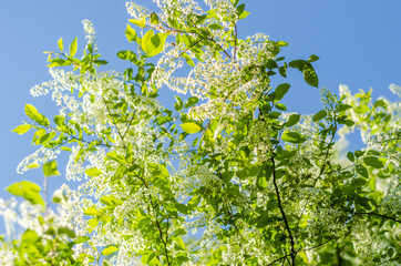 Branch of bird cherry with white flowers
