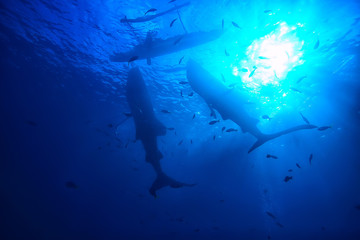 snorkeling whale shark / Philippines, diving with sharks, underwater scene
