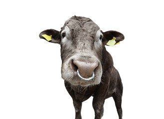 Bull with nose ring isolated on white. Beautiful big brown bull full length. Bull close up. Farm animals. Beef cattle isolated on white.