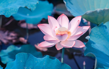 Fotorollo Lotosblume blooming lotus flower in pond