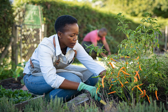 African woman grows plants in the garden