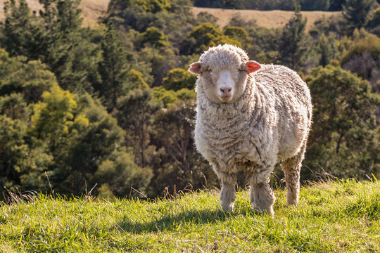 closeup of curious merino sheep standing on grass with blurred background