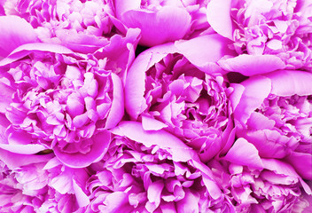 Affisch - Beautiful pink peony bouquet background. Blooming peony flowers close-up. Valentine's Day concept