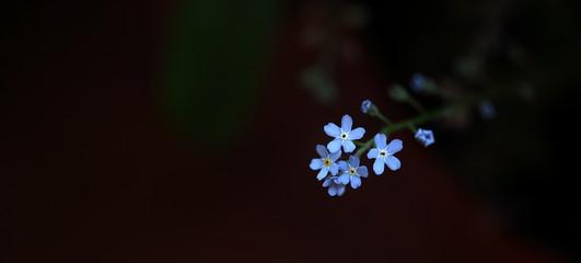 Obraz Kwitnąca niezapominajka, widok z góry, na ciemnym tle, z bliska - fototapety do salonu