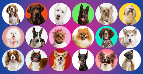 Papiers peints Chien Young dogs are posing. Cute doggies or pets are looking happy isolated on colorful or gradient background. Studio photoshots. Creative collage of different breeds of dogs. Flyer for your ad.