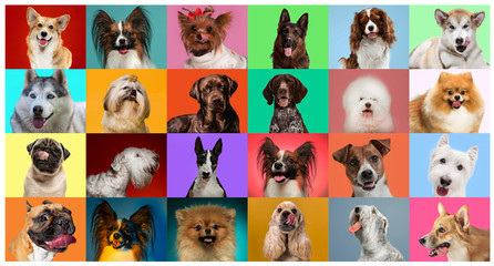 Young dogs are posing. Cute doggies or pets are looking happy isolated on colorful or gradient background. Studio photoshots. Creative collage of different breeds of dogs. Flyer for your ad. Wall mural