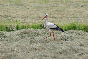 stork searching for food between drying grass on a meadow