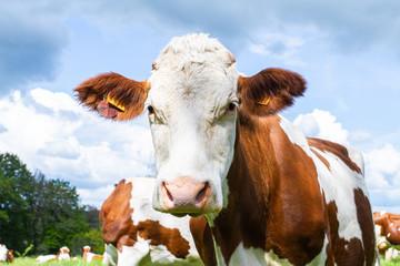 vache dans un près