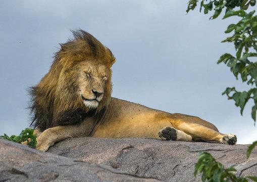 Tanzania, Mara, Serengeti National Park, male african lion (panthera leo) disturbed by wind on a kopje