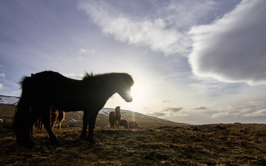 Iceland horses with beautiful lights