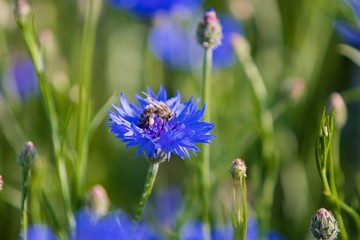 Close-up of a bee collecting nectar in a blue blossom in the summer