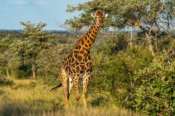 Stores photo Girafe Safari girafe Parc Kruger Afrique du Sud