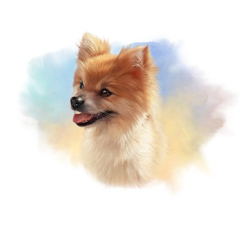 Pomeranian Dog. Illustration of a handsome puppy on watercolor background. Cute Spitz. Small Lap Dog Breeds. Hand drawn Portrait. Watercolor Animal art collection: Dogs. Good for print T-shirt, banner