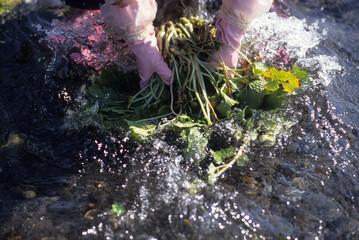 日本の伝統食品、山葵漬、わさびの収獲作業