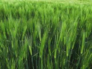 ein frisches Gerste Feld im Frühling. Die grünen Halme stehen dicht neben einander