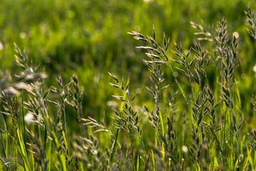Hafer auf einem Feld im Frühling. Die Hafer Pflanzen im Vordergrund und ein saftiges grünes Getreide im unscharfen Hintergrund