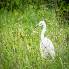 Heron on a meadow