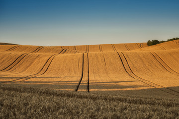 Earth waves background in South Moravia / Amazing view with a yellow wheat field and rolling hills before the sunset in South Moravia, Czech Republic