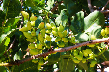 Ripening the fruit of the pistachio tree. Pistachio tree branch full of pistachio nuts