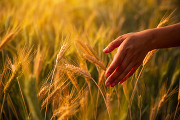 Female hand stroking touches of ripe ears of wheat at sunset in the background