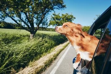 Photo sur Plexiglas Chien Dog travel by car