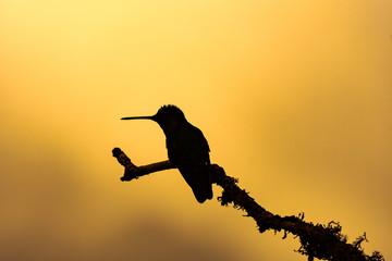 silhouet of aTalamca Hummingbird (eugenes spectabilis)