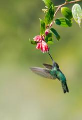 Talamca Hummingbird (eugenes spectabilis)