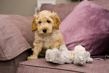 Adorable golden Cockapoo puppy with toy on purple sofa