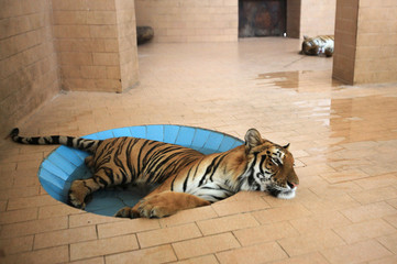 A tiger lays in a pool of water inside a cage at a zoo, during hot and humid weather in Lahore