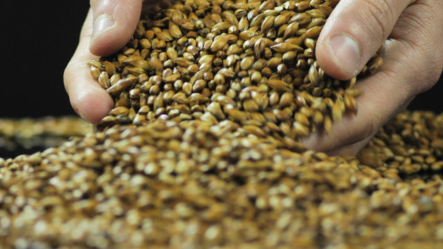 Close-up hands are mixed to dry and sort caramelized malt or barley for making craft beer and whiskey or bread. The concept of organic and healthy products 59.94 fps 4k