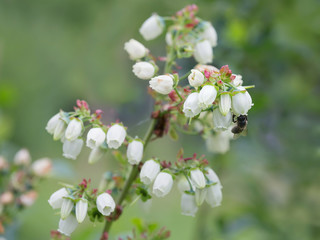 Flowering Canadian blueberry