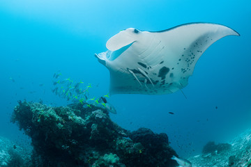 Black and white reef manta ray flying around a cleaning station in cristal blue water
