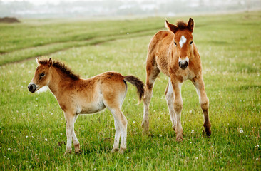 Two foals graze in the pasture. In the summer afternoon among dandelions.