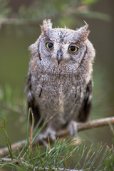 Small scops owl on a pine branch. Little Scops Owl (Otus scops) is a small species of owl from the Owl Owl family.
