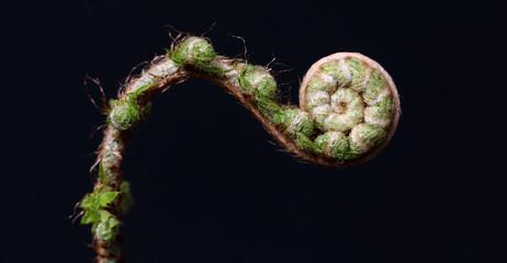 Unfolding fern leaf