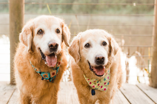 smiling old golden retrievers