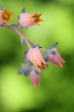 Succulent plant in bloom