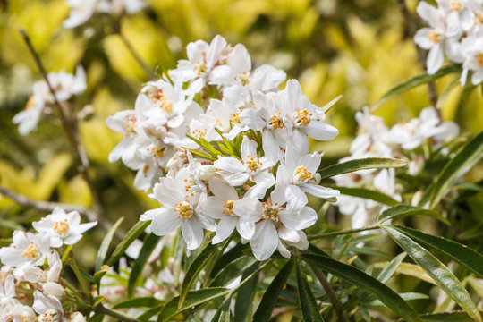 White mexican orange blossom flowers in a garden during spring