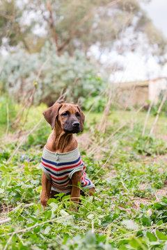puppy in woollen coat in the yard