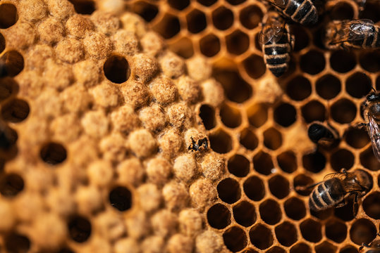 Birth of a bee on honeycomb