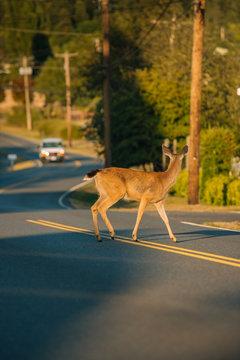 Deer crossing street at sunset.