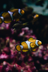 Marine Creature - Clown Fish