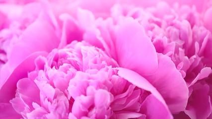 Fotoväggar - Beautiful pink peony bouquet background. Blooming peony flowers closeup. Rotation 4K UHD video footage. 3840X2160