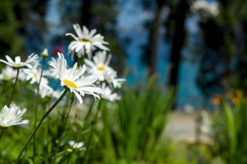 Lake Tahoe Flowers