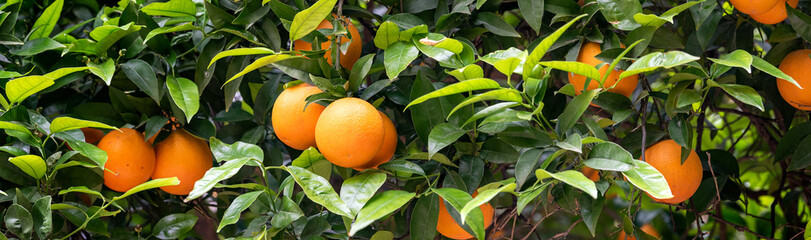 orange fruit on the trees Fotomurales