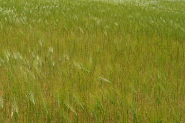 Champ de jeune blé ondulant