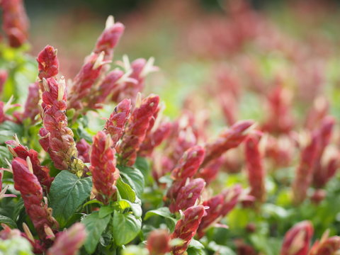 red pink flower Name Panama Queen Plant, The Orange Shrimp Plant, The Coral Aphelandra Single leaf Sorting alternately Lanceolate The flower is a big bouquet. With a small bouquet adorned on the base