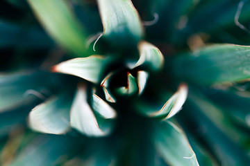 Macro photo of agave leaves colored in Coral and blue colors. Duotone concept.