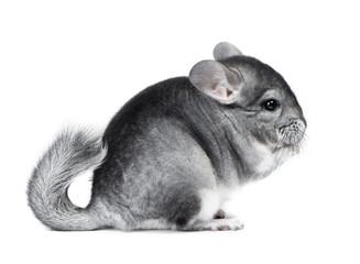 Gray small chinchilla eating